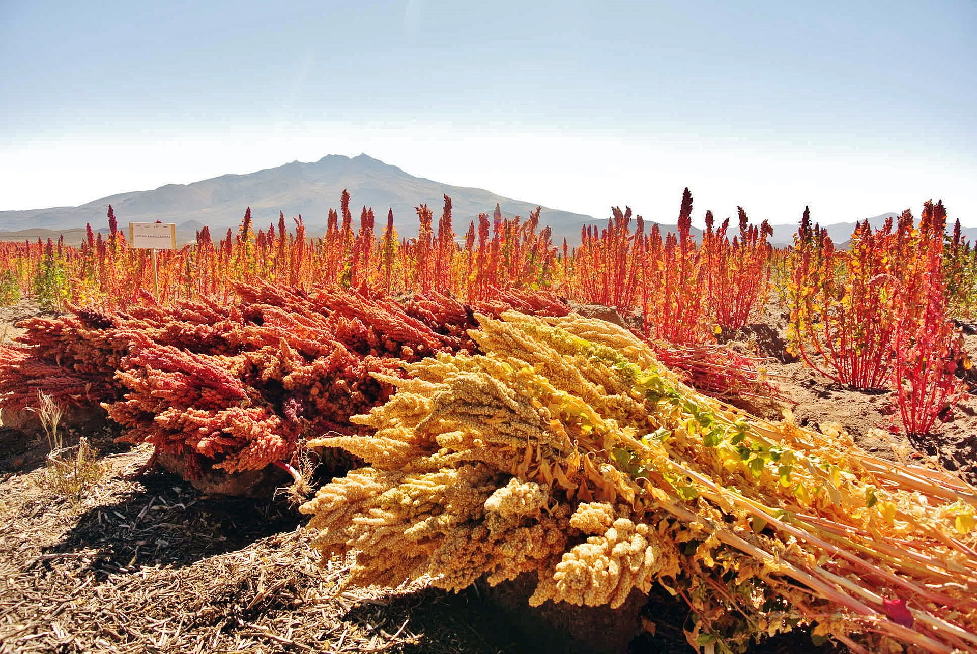 Quinoa – Beautifully Nutrient Dense And Sustainable